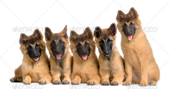 wolfpack of five puppies Belgian Tervuren - Stock Photo - Images