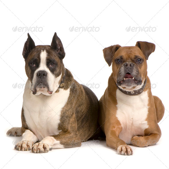couple of Boxer - Stock Photo - Images