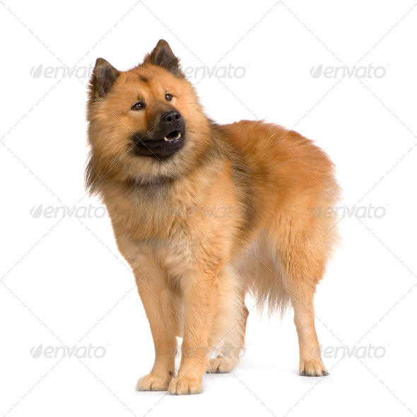 Eurasier - Stock Photo - Images
