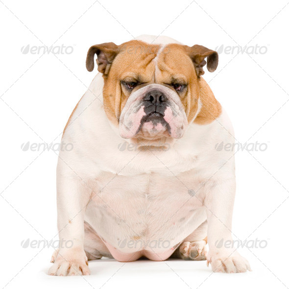 english Bulldog - Stock Photo - Images