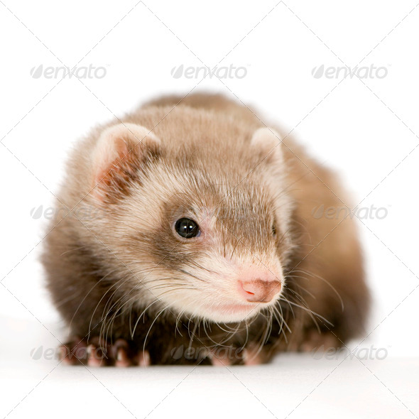 Young Ferret - Stock Photo - Images