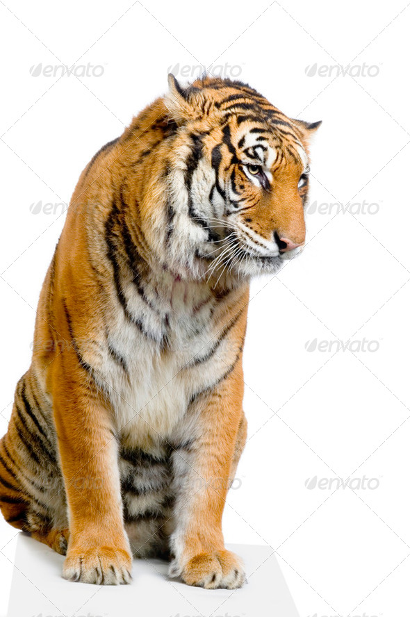 Tiger sitting - Stock Photo - Images
