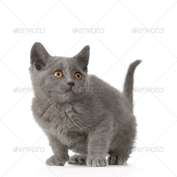 Chartreux Kitten - Stock Photo - Images