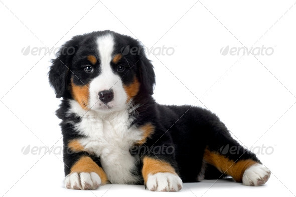 Puppy Bernese mountain dog - Stock Photo - Images