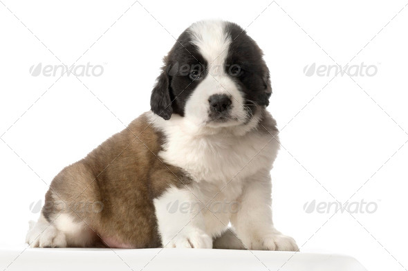 Puppy Saint Bernard - Stock Photo - Images