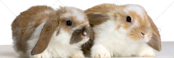 couple of Lop Rabbit - Stock Photo - Images