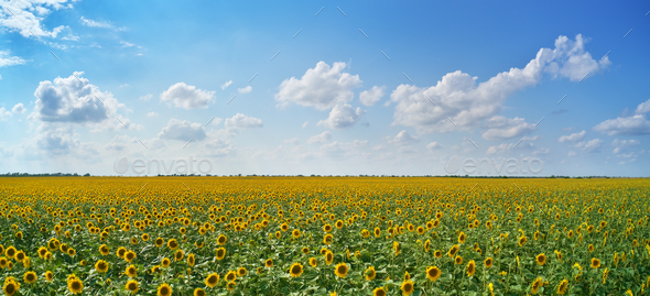 Panorama of sunflowers meadow - Stock Photo - Images