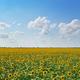 Panorama of sunflowers meadow - PhotoDune Item for Sale