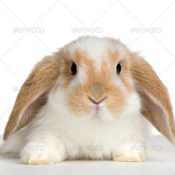 Lop Rabbit - Stock Photo - Images