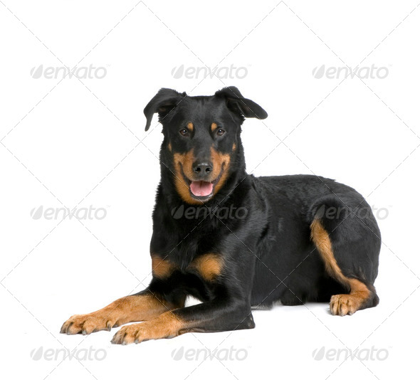 Beauceron - Stock Photo - Images