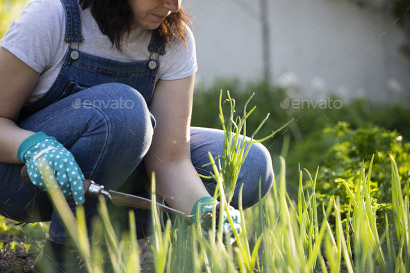Closeup photo of woman digging out onion with spade - Stock Photo - Images