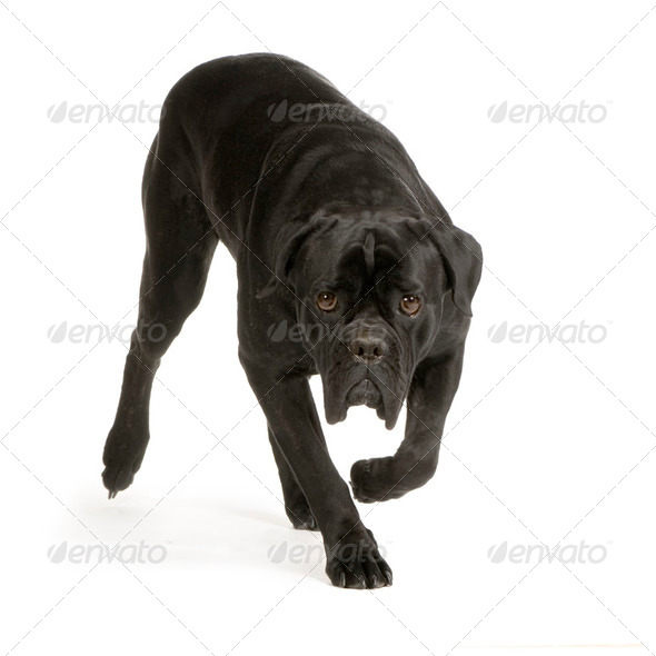 Cane Corso - Stock Photo - Images