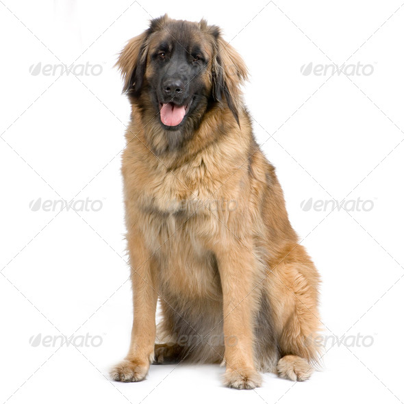 Leonberger - Stock Photo - Images
