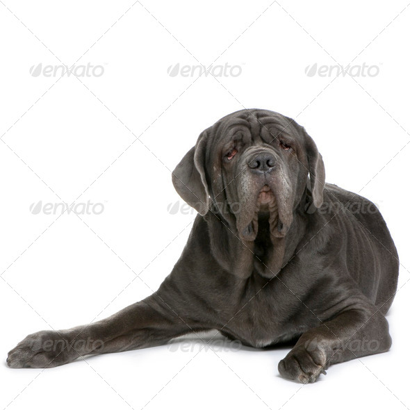 Mastiff - Stock Photo - Images