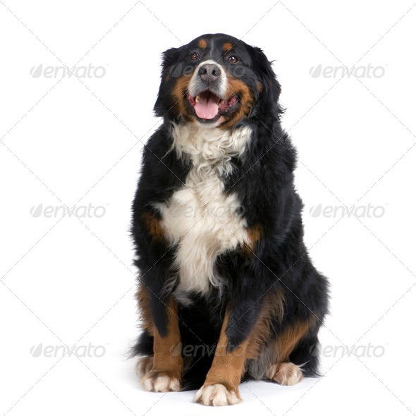 Bernese mountain dog - Stock Photo - Images
