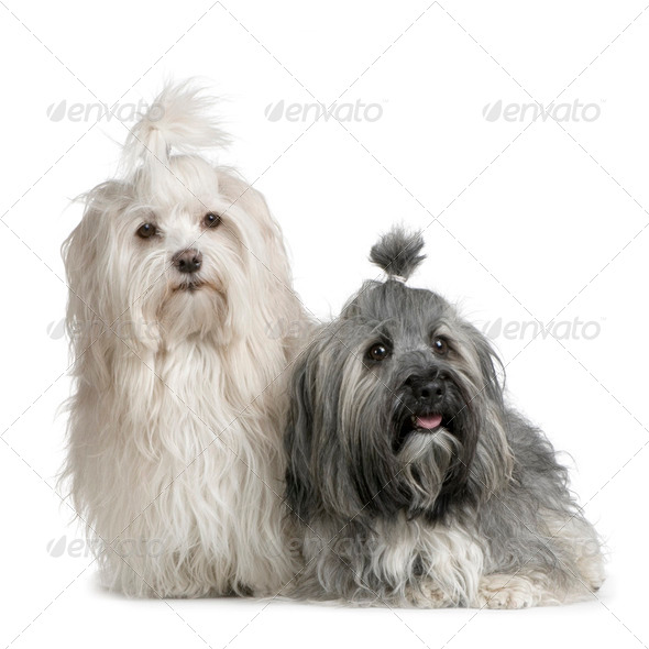 pair of Havanese dog - Stock Photo - Images