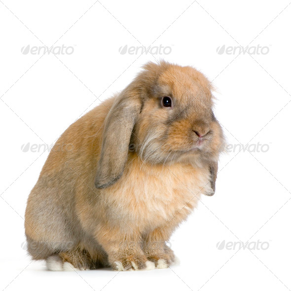 Lop Rabbit - Stock Photo - Images