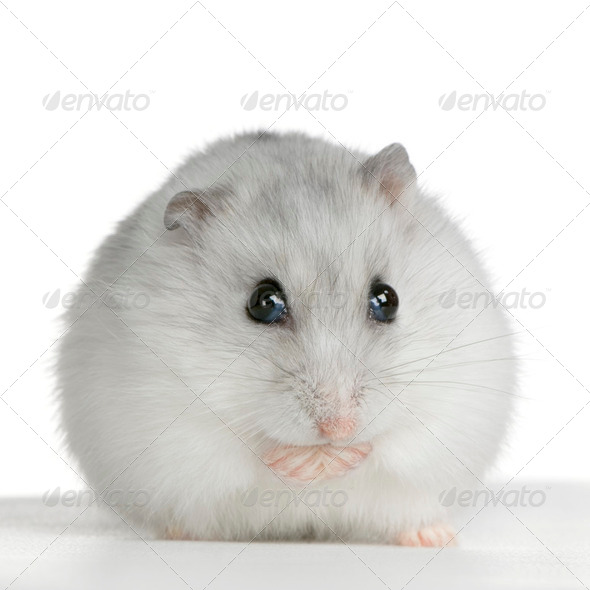 Russian Hamster - Stock Photo - Images