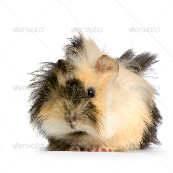 angora guinea pig - Stock Photo - Images
