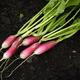 Freshly harvested radishes lying on soil - PhotoDune Item for Sale