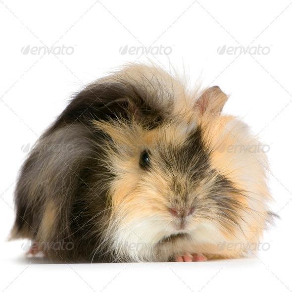 angora guinea pig - Stock Photo - Images