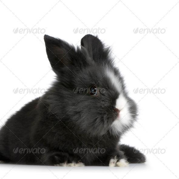 dwarf rabbit - Stock Photo - Images