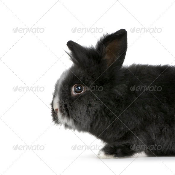 dwarf rabbit - Stock Photo - Images