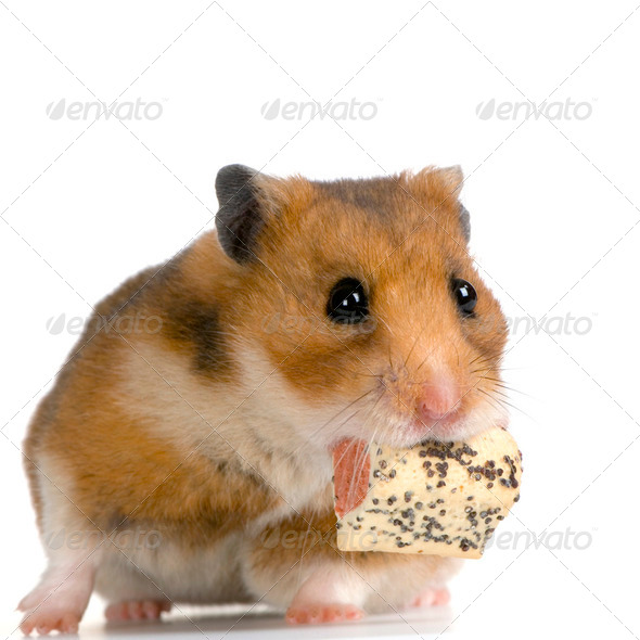 Hamster - Stock Photo - Images