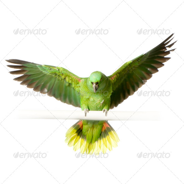 Yellow-naped amazon - Amazona auropalliata - Stock Photo - Images