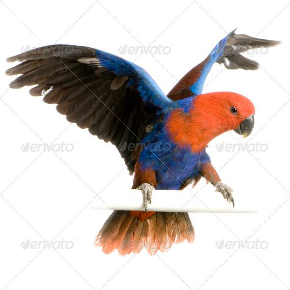 female Eclectus Parrot - Eclectus roratus - Stock Photo - Images