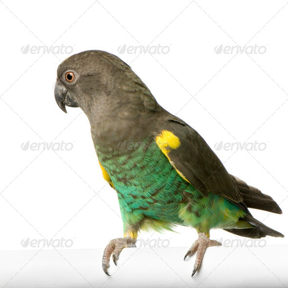 Meyer's Parrot - Poicephalus meyeri - Stock Photo - Images