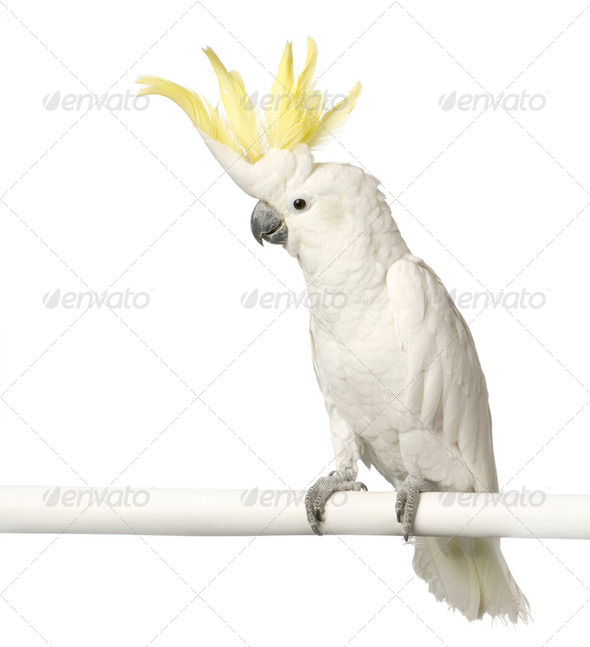 Yellow-crested Cockatoo - Stock Photo - Images