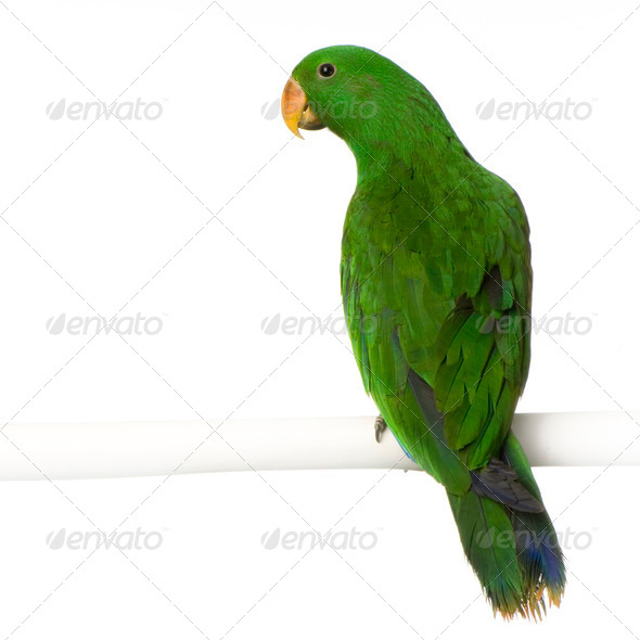 male Eclectus Parrot - Eclectus roratus - Stock Photo - Images