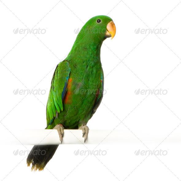 male Eclectus Parrot - Eclectus roratus - Stock Photo - Images