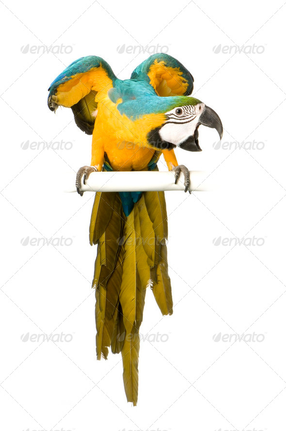 Blue-and-yellow Macaw - Ara ararauna - Stock Photo - Images