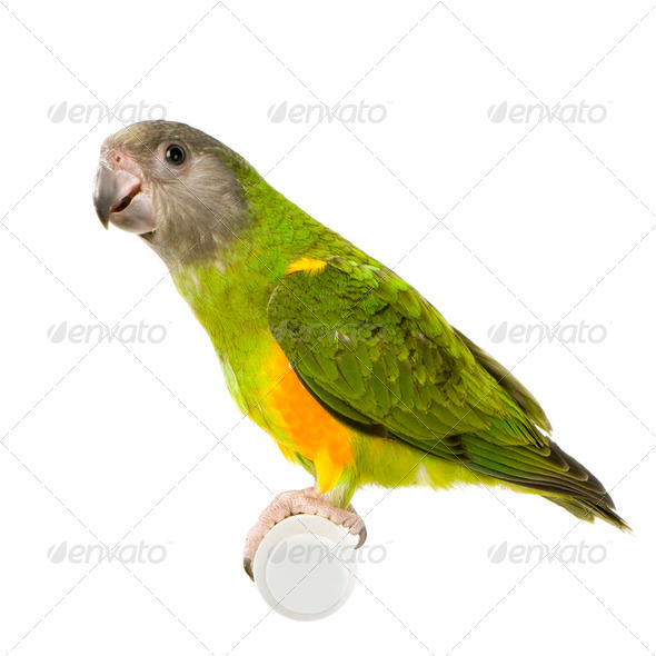 Senegal Parrot - Poicephalus senegalus - Stock Photo - Images