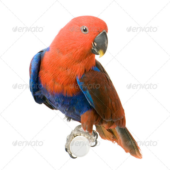 female Eclectus Parrot - Eclectus roratus - Stock Photo - Images