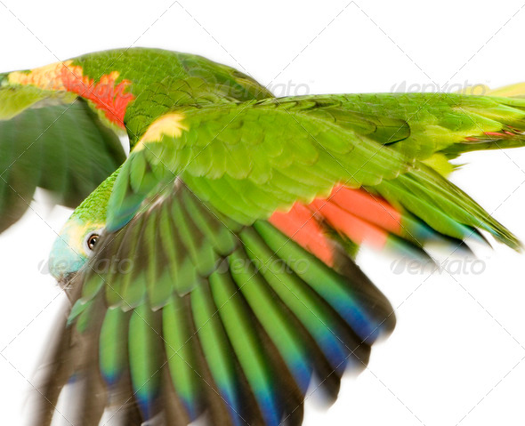 Blue-fronted Amazon - Amazona aestiva - Stock Photo - Images