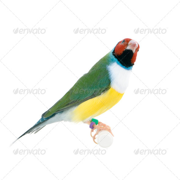 Gouldian Finch - Erythrura gouldiae - Stock Photo - Images
