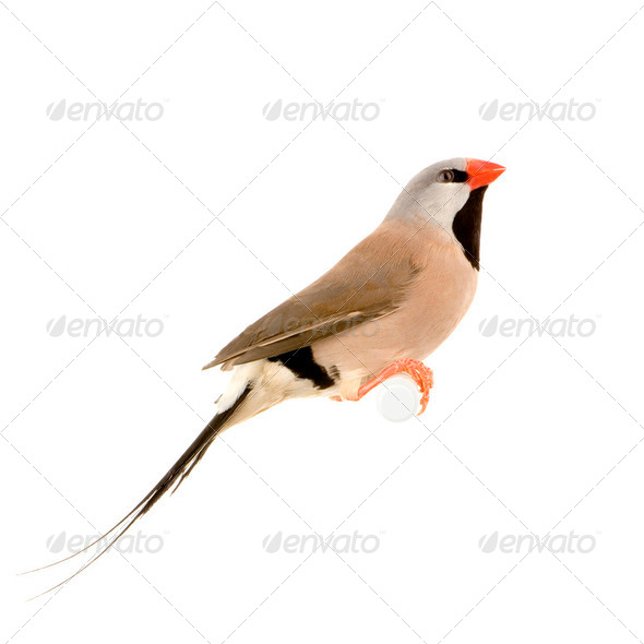Long-tailed Finch - Poephila acuticauda - Stock Photo - Images