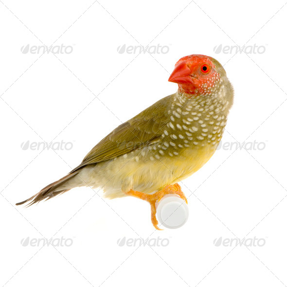 Star Finch - Neochmia ruficauda - Stock Photo - Images