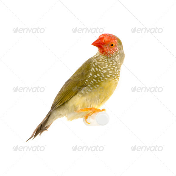 ruficauda - Stock Photo - Images