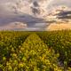 Rape field at sunset. Spring landscape - PhotoDune Item for Sale