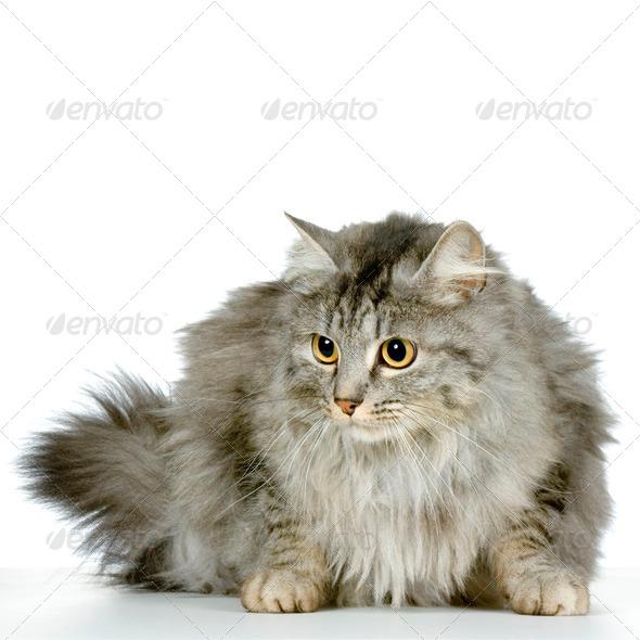 Wildcat - Stock Photo - Images
