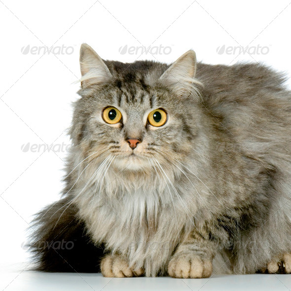 Wildcat - Stock Photo - Images