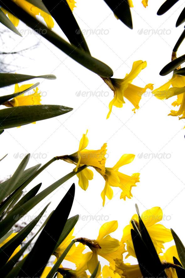 Narcissus flowers - Stock Photo - Images