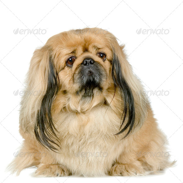 Pekinese - Stock Photo - Images