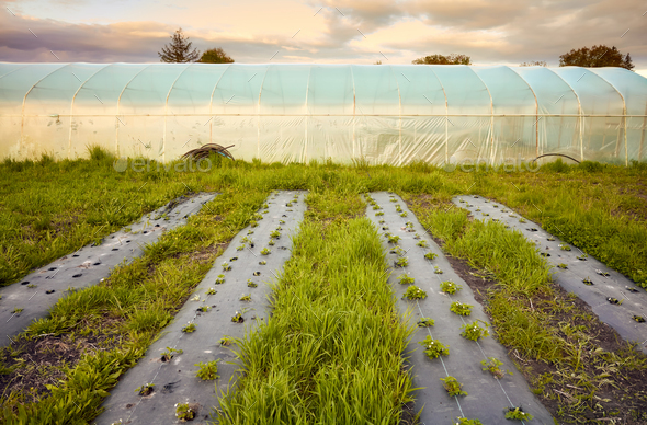 Eco farm with polytunnel and patches covered with plastic mulch at sunset. - Stock Photo - Images