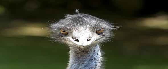 Ostrichklein