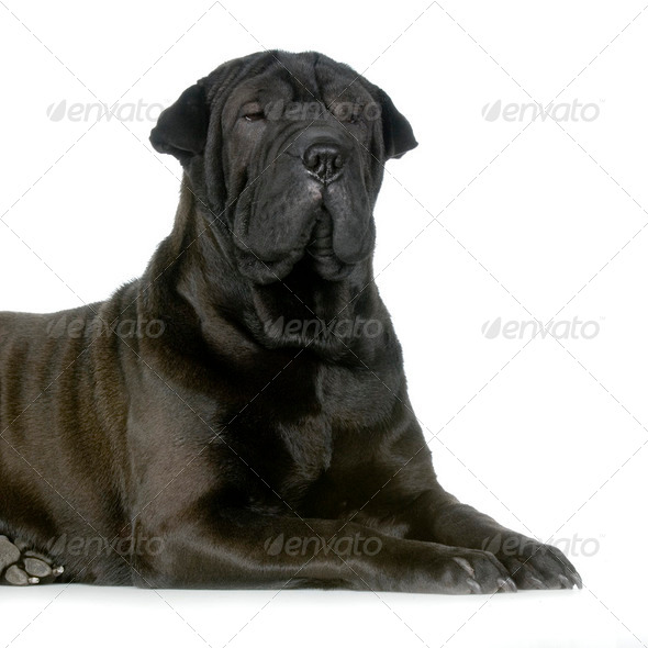 Sharpei - Stock Photo - Images